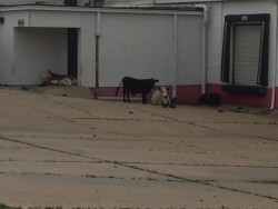 Cows hanging out at old Borden Plant after storm.