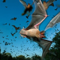 Texas Residents Asked to Assist in Documentation of Bat Species and Populations