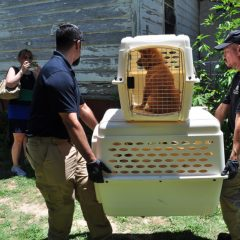 Hopkins County Sheriff's Office/SPCA of Texas Seize 12 Dogs, 2 Horses from Como Residence