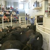 NETBIO Conditioned Calf and Yearlings Sale Nets $877.16 per Head